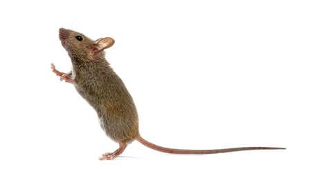 raton: Ratón de madera buscar delante de un fondo blanco Foto de archivo