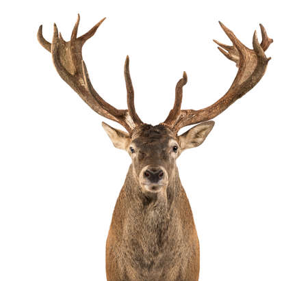 venado: Primer plano de un ciervo rojo delante de un fondo blanco