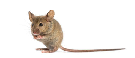 white mouse: Wood mouse cleaning itself in front of a white background Stock Photo
