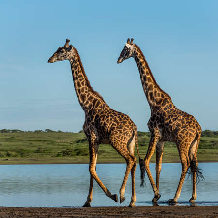 somali giraffe: Two Giraffes walking by a river, Serengeti, Tanzania