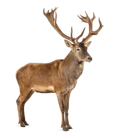 background deer: Red deer stag in front of a white background Stock Photo