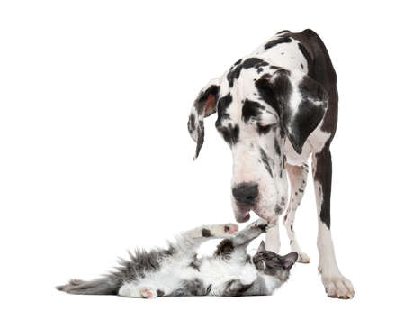great dane harlequin: Maine coon kitten playing with a harlequin Great Dane (4 years) in front of a white background Stock Photo