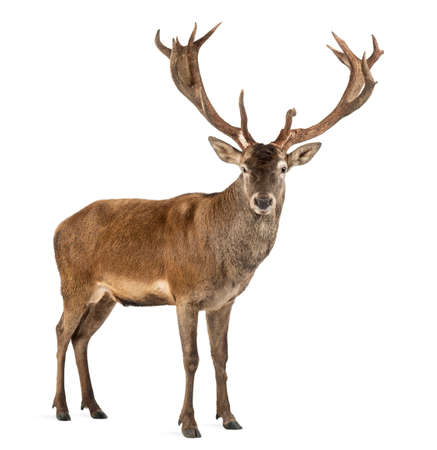 red animal: Red deer stag in front of a white background Stock Photo