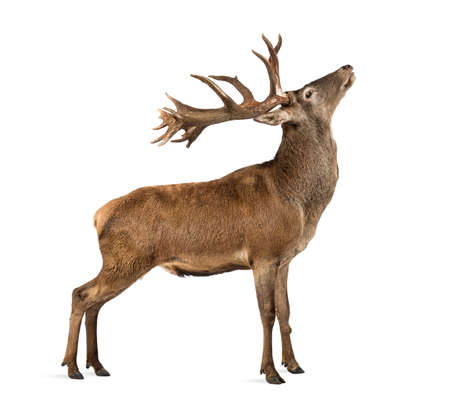 venado: Ciervo rojo delante de un fondo blanco