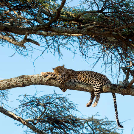 leopard: Leopard resting on a branch, Serengeti, Tanzania Stock Photo