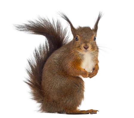 Rotes Eichhörnchen vor einem weißen Hintergrund Standard-Bild
