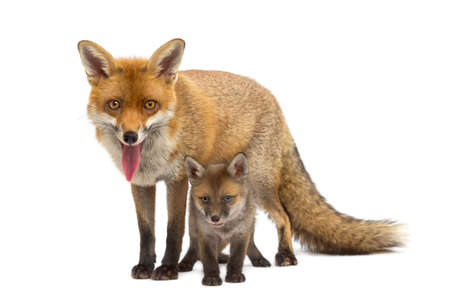 red fox: Mother fox with her cub (7 weeks old) in front of a white background