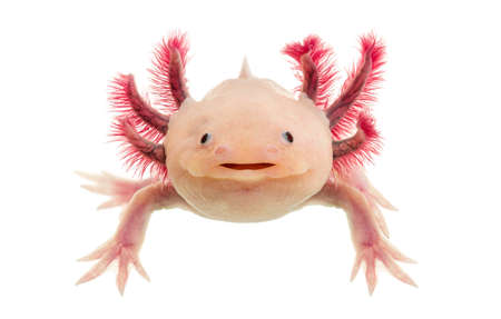 Axolotl (Ambystoma mexicanum) in front of a white background Stock Photo