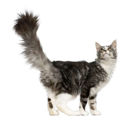 maine coon: Maine Coon looking up in front of a white background