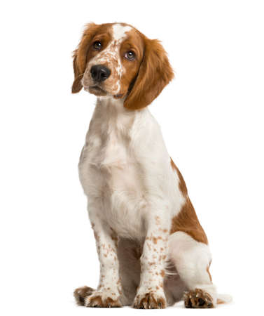 dog isolated: Welsh Springer Spaniel sitting in front of a white background