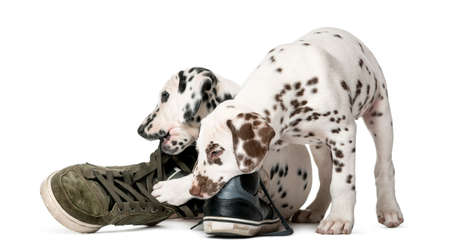 destroying: Two Dalmatian puppies chewing shoes in front of a white background Stock Photo