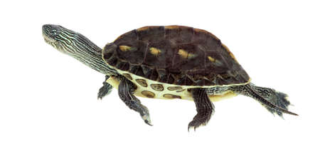 emys: European pond turtle (1 year old), Emys orbicularis, swimming in front of a white background