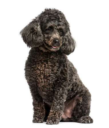 sit on studio: Poodle sitting in front of a white background Stock Photo
