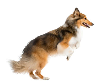 white dog: Shetland Sheepdog jumping in front of a white background
