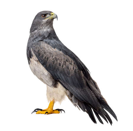 17 years: Chilean blue eagle - Geranoaetus melanoleucus (17 years old) in front of a white background Stock Photo