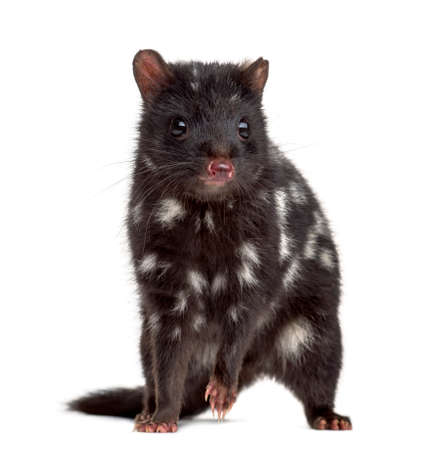 maculatus: Quoll on his hind legs, isolated on white (3 years old)