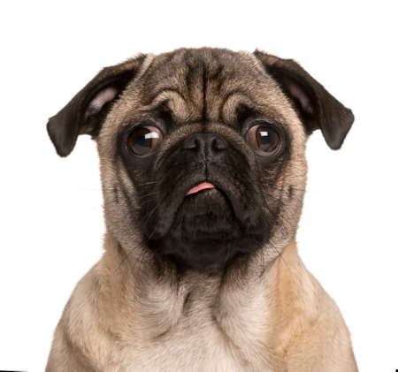 face to face: Pug puppy looking at the camera, sticking the tongue out and making a face, isolated on white (5 months old) Stock Photo