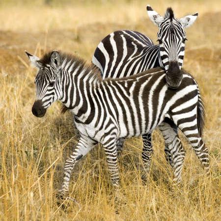 mara: Zebra at masai mara