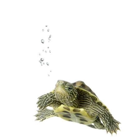 schildkr�te: Turtle Schwimmen vor einem wei�en Hintergrund