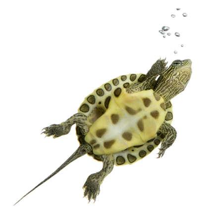 schildkroete: Turtle Schwimmen vor einem wei�en Hintergrund