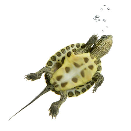 webbed foot: Turtle swimming in front of a white background
