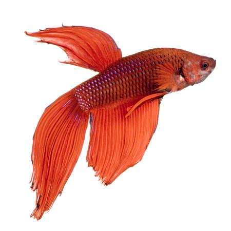 frailty: shot of a red Siamese fighting fish under water in front of a white background