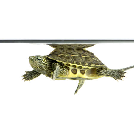 ocadia sinensis: Turtle swimming in front of a white background