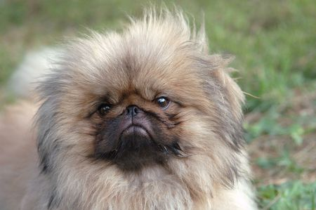 pekingese: little pekingese dog portrait
