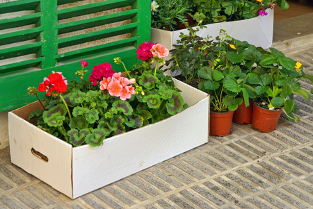 paperboard: geranium plants with flowers inside a white paperboard box