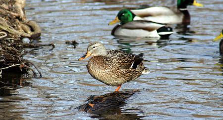 A female duck stands, as if striking a pose Stock Photo - 345522