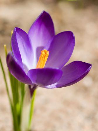 stigmate: La stigmatisation de safran au d�but du printemps, une fleur crocus