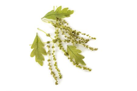 Oak Catkins with small green immature leaves photo