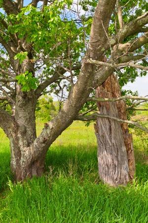 sun lit: A healthy leafy tree grows next to a  dead tree trunk in a sun lit meadow