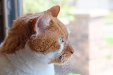 critter: Close up of a tan and white cat back lit  by sunlight as it stares out a window Stock Photo