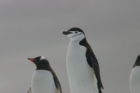 PAPUA AND CHINSTRAP PENGUINS photo
