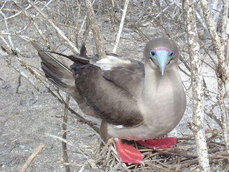 boobie: RED FOOTED BOOBIE BIRD Stock Photo