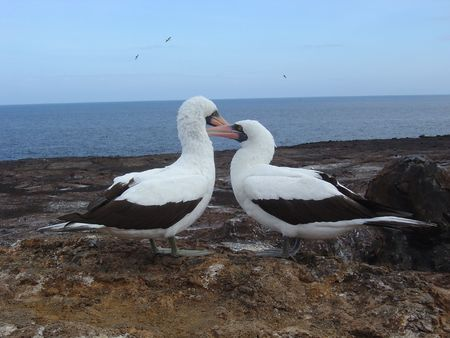 boobie: NAZCA BOOBIE BIRD