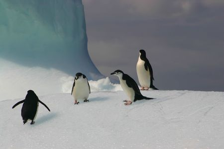 CHIN STRAP PENGUINS CLIMBING ON AN ICEBERG photo