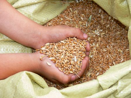food inspection: WHEAT SEEDS JUST HARVESTED FROM FIELDS IN ARGENTINA
