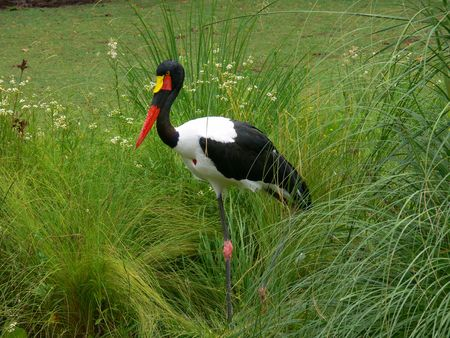 extintion: big colorful african bird in the marsh