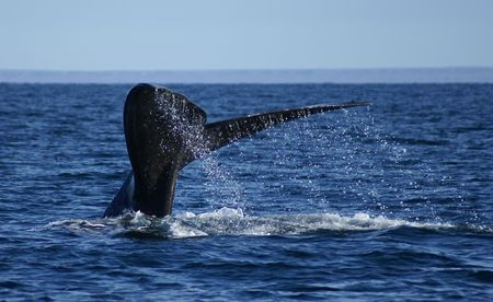 the tail of a right whale off the water