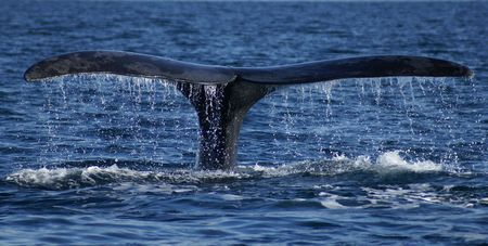 cetacean: huge right franca whale tail off the water