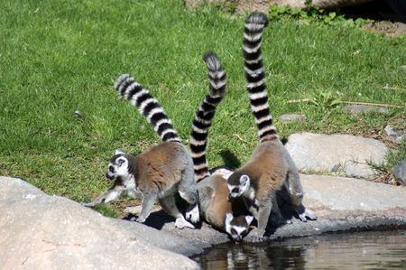 ring tailed: three ring tailed lemurs near a pond Stock Photo
