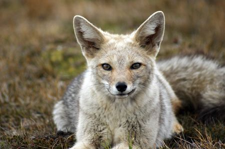 A wild gray fox from patagonia portrait