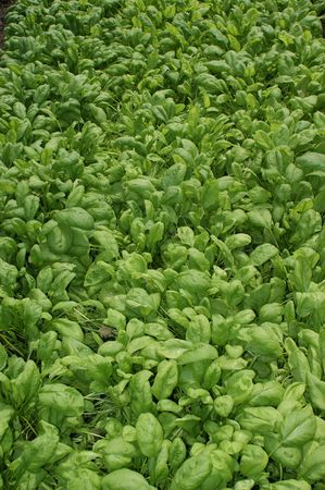 Organic spinach plants ready to be eaten photo