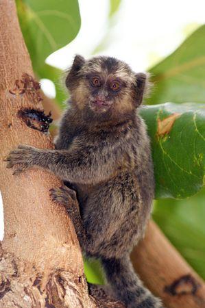 A titi monkey eating on a tree Stock Photo