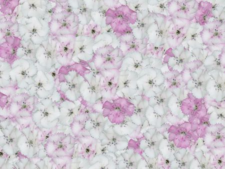 Carnation - Dianthus barbatus - Bartnelke Stock Photo - 748469