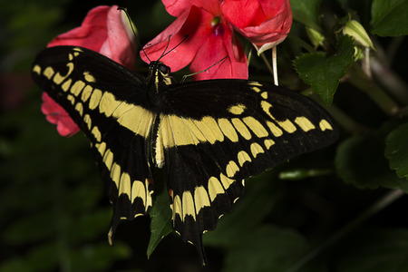 A king swallowtail butterfly  Papilo thoas  of the Papilonidae family