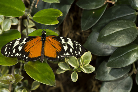A plain tiger butterfly  Danaus chrysippus  of the Nymphalidae family  Stock Photo