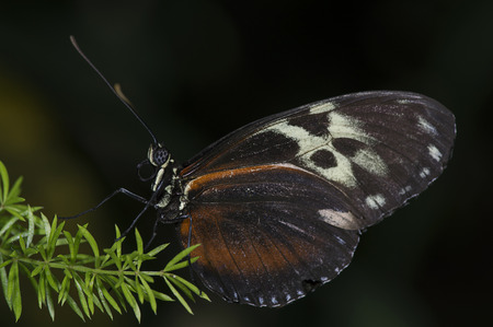 A tiger longwing  Heliconius hecale  butterfly of the Nymphalidae family